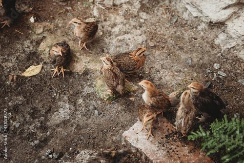 Fototapeta perliczki ptaki wieś obraz