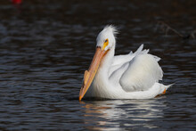 White Pelican Hunting For Food While Swimming In A Lake