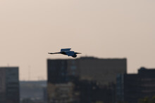 Great White Egret Soaring Past Office Buildings In Dallas