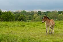 Foal On A Green Field