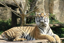 Royal Tiger Lying In The Sun After Eating A Full Meal
