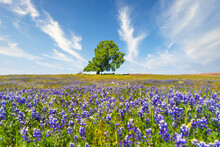 Herd Of Dairy Cows Laying And Grazing Under A Large Green Oak Tree Surrounded By A Field Of Purple California Pipevine Wildflowers On A Grassy Hill With A Sunny Blue Cloudy Sky