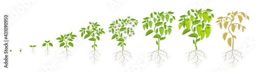 Fotografia Growth stages of green bell pepper vegetable plant