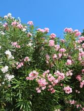 Beautiful Pink And White Color Oleander Flowers And Blue Sky Background