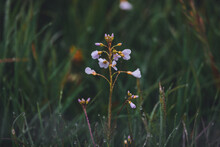 Blume Im Gras, Wiesenschaumkraut, Frühling