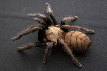 Brown Spider With Dark Paws In Battle Dangerous Poisonous Tarantula Black Background Many Eyes Hair Macro
