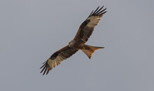 Black Kite Flying Under Clear Sky
