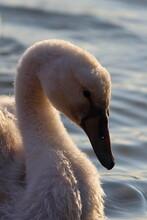 Mute Swan Chick