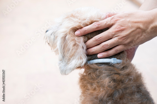 Obraz woman wearing a collar band for dog, kill and repel tick and flea - fototapety do salonu