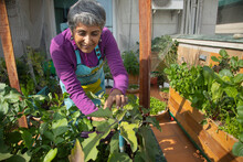 A Woman Harvesting Brinjal At Home