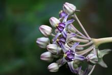 Purple Crown Flower ; Giant Indian Milkweed ; Gigantic Swallowwort (Scientific Name : Calotropis Gigantea ) Tropical Plant Backdrop And Beautiful Detail – Nature Background