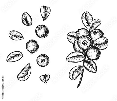 Fotografie, Obraz Hand drawn sketch black and white cranberry branch, fruit, leaf
