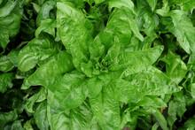 Fresh Spinach Leaves Growing In Vegetable Garden - Spinacia Oleracea.