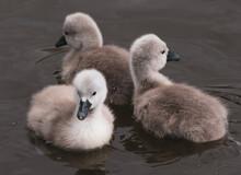 Closeup Shot Of Baby Swans Swimming In A Lake