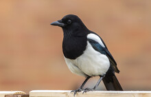 Closeup Shot Of A Black And White Eurasian Magpie On A Blurred Background
