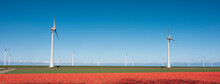Red Tulip Field And Wind Turbines Under Blue Sky In The Netherlands