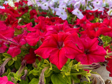 Bright Red Flower, Wild Petunia (ruellia) Hybrid Close Up On A Plant In The Sunshine.