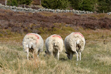 Selective Focus Shot Of Sheep With Red Markings Grazing