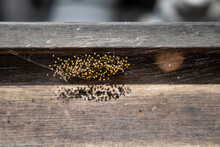 Yellow Baby Spiders Hatch, Orb Weaver Baby Spiders, Cluster Of Small Garden Spiders On The Net