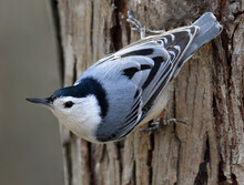 White-breasted Nuthatch Sitting On A Tree Trunk Into The Forest, Quebec, Canada