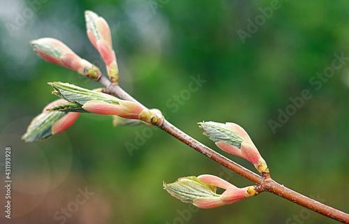 Kwiaty, drzewo, zielony, wiosna - fototapety na wymiar