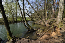 Lonely Forest With A Torrent, Roots In The Bank Area