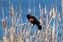 Red Winged Black Bird Calling