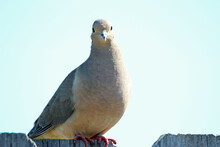 Morning Dove On The Fence