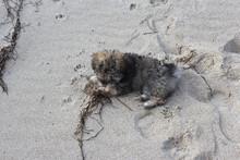 Gray Glen Of Imaal Terrier Dog In The Sandy Beach