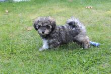 Gray Glen Of Imaal Terrier Dog In The Park