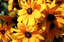 Closeup Of Black Eyed Susan Flowers In Full Bloom