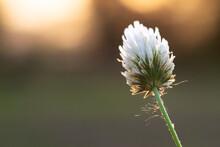 Berseem Flower High Resolution Stock Photo