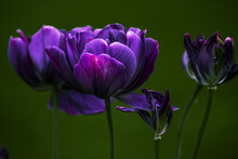 Sfioritura Tulipani