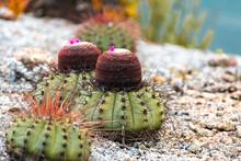 Close Up On A Coroa De Frade Cactus - Northeast Brazil