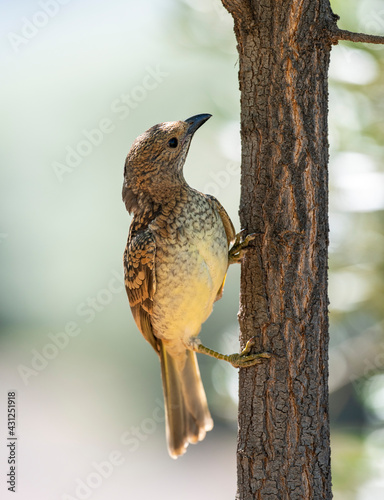spotted bower bird in outback Queensland, Australia. Fotobehang