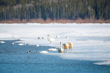 Large Flock Of Tundra Trumpeter Swans While On A Stopover To Alaska During Spring Time In Yukon Territory, Canada. Some Birds Feeding, Standing On Ice And Swimming And Feeding.