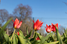 Red Tulips In Garden. Fully Open Side View.