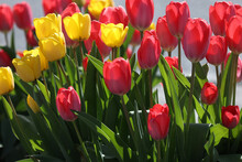 Red And Yellow Tulips In Spring On A Flower Bed