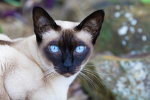 Tonkinese Cat. Coco Is A Lovely Mature Female Seal-point Tonkinese Cat With Bright Blue Eyes