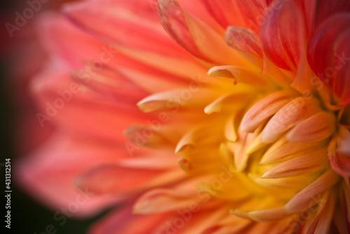 Fototapeta różowy kwiat obraz