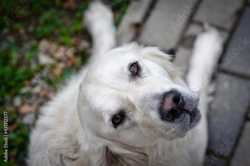 Biały labrador - fototapety na wymiar