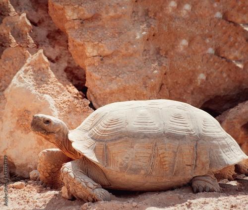 Fototapeta Żółw pustynny z szaro bezowym pancerzem o wyraźnym rysunku na tle skał. obraz