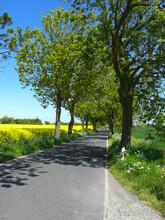 A Rapeseed Field On An Avenue On The Island Of Ruegen In Germany