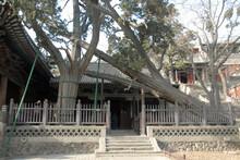 Jinci Temple Near Taiyuan, Shanxi , China. Two Ancient Cypress Trees Zhou Bai And Tang Huai Near Shengmu Hall Or Holy Mother Hall. Zhou Bai Cypress Tree May Be As Old As 3,000 Years.
