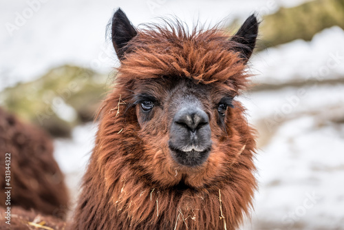Fototapeta premium portrait of cute brown lama