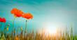 Rote Mohnblumen vor blauem Himmel bei Sonnenaufgang