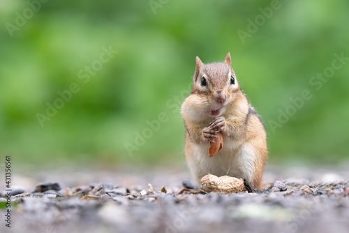 Obraz na plátně An Eastern Chipmunk stuffs a peanut in its cheek pouches at Lynde Shores Conservation Area in Whitby, Ontario