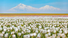 White Tulip Fields On The Background Cascade Snowy Mountains