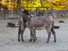 Two Donkeys Playing Together  Inside A Farm Fence
