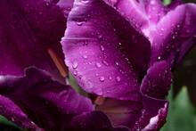 Pétale Tulipe Mauve